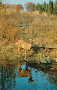 Autumn Reflections - Young White-Tailed Deer Buck Reflection
