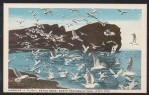 Colour PC Gannets in Flight Perce Rock Gaspe Peninsula, Que. unused