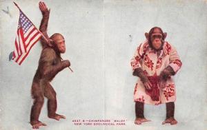 N.Y. Chimpanzee monkeys Baldy New York Zoological Park, Patriotic US Flag 1908