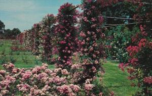 Rhode Island Providence Rose Garden In Roger Williams Park