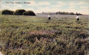 Third Crop Alfalfa In Montana 1918