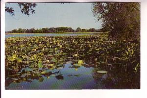Lotus Blooms, Amana, Iowa, Photo Wm Noe