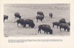 South Dakota Black Hills Custer State Park Buffalo Herd Grazing Real Photo RPPC