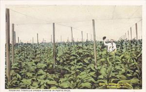 Puerto Rico Growing Tobacco Under Canvas In Porto Rico Curteich