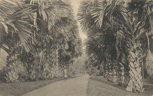 Ceylon Tallpot Palms Peradeniya Gardens Ceylon Sri Lanka 05.05