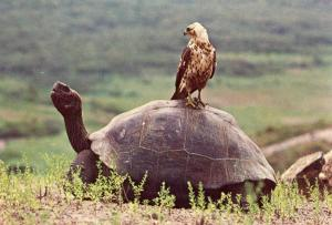 Ecuador - Galapagos Island, Alcedo Volcano. Hawk on Giant Tortoise