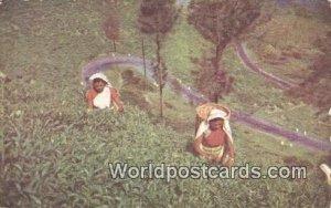 Tea Pluckers Ceylon China 1976