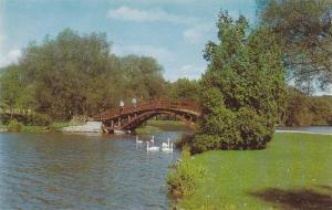 View of the Graceful White Swans and rustic Island Bridge on the Avon Ricer, ...