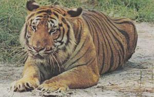 Tiger - North Carolina Zoological Park - Asheboro, NC