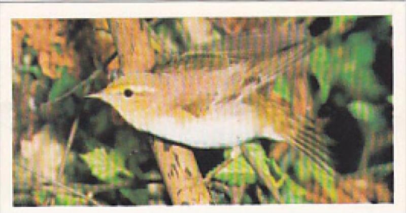 Brooke Bond Vintage Trade Card Woodland Wildlife 1980 No 9 Wood Warbler