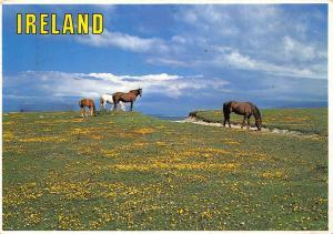 Ireland Horses on Field Sea Animals Postcard