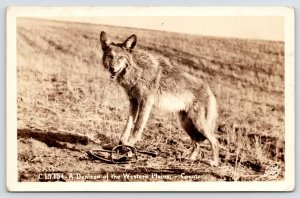 RPPC Coyote Caught in Leg Trap~Free Me, I Got A Roadrunner to Catch~Sawyer c1927