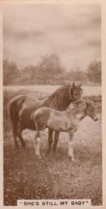 She's Still By Baby Horses Horse Antique Real Photo Cigarette Card