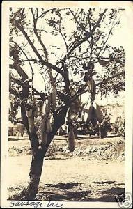 hawaii, HONOLULU, Sausage Tree (1935) RPPC