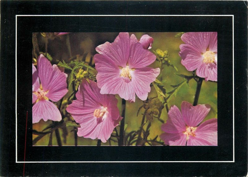 Post card pink evening primrose