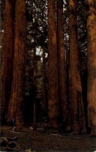 Perker Group of Redwoods - MIsc, CA