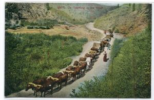 Ox Team Hauling Wagons in The West 1910c postcard