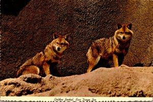 California San Diego Zoo The Golden Jackal 1974