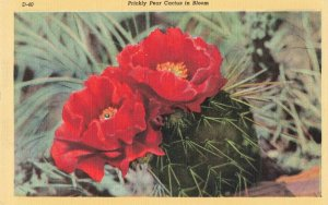 Postcard Prickly Pear Cactus in Bloom