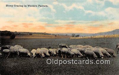 Western Pasture Sheep Grazing Postcard Post Card Western Pasture Sheep Grazing