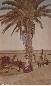 RP: CAIRO , Egypt , 00-10s ; Men & Camels at date Tree