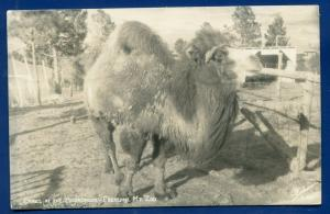 Camel at Broadmoore Cheyenne Mt Zoo Colorado co Springs real photo postcard