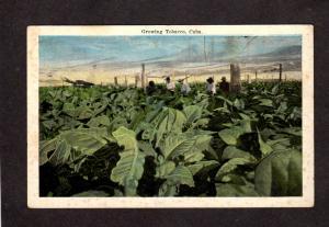 Cuba Growing Tobacco Harvesting Farming Farm For Cigars Postcard Carte Postale