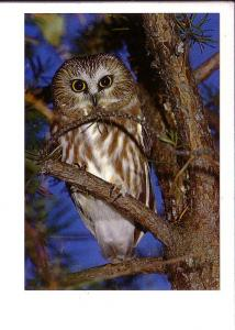 Saw-Whet Owl, North American Wildlife