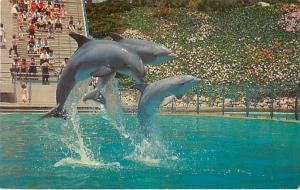 Leaping Dolphin Trio at Marineland of the Pacific near Los Angeles, CA Chrome