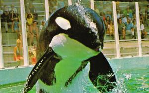 HUGO the Killer Whale (Orca) , Miami Seaquarium , Florida , 50-60s #3