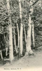 NH - Jackson, Birches