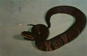 Snake - Cottonmouth Water Moccasin