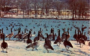 Wild Geese at Rochester, Minnesota