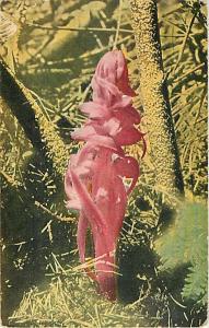 The Snow Plant (Sardoces sanguinea, Torr.) at Expo in LA CA