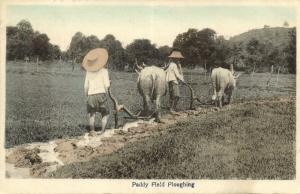 siam thailand, BANGKOK, Paddy Field Ploughing (1920s) Ebata Postcard