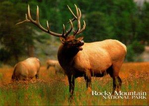 Elk Or Wapiti Rocky Mountain National Park Colorado