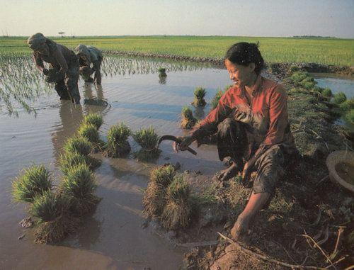 Cambodia Farmers Farming Rice Self Sufficiency Postcard