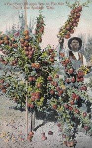 SPOKANE, Washington , 1900-10s ; A Four Year Old Apple Tree on Five Mile Prairie