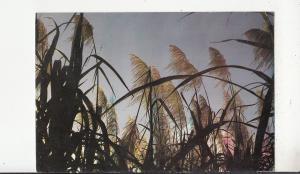 BF28142 champ de cannes a sucre  ile maurice mauritius   front/back image