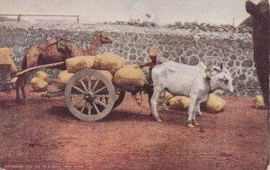 Arabia Coffe Culture Around The World Ox Cart sk4622