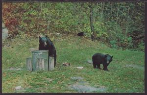 Black Bears Having Lunch Postcard BIN