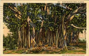 FL - Giant Banyan Tree