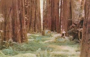 California Scene In Redwood Forest