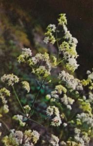 Alaska Flowers Northern Bedstraw
