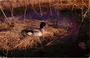 Northwoods View Mallard Ducks pm 1956 Postcard