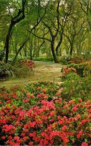 California La Canada Descanso Gardens Azaleas In Bloom