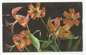 Flowers Wild Tiger Lily Great Smoky Mountains and Blue Ridge Vtg Postcard