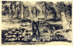 Malaysia, Malaya Cocoanut Plantation Husking Cocoanuts Real Photo
