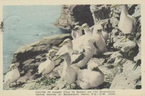 BONAVENTURE ISLAND , Quebec, PU-1947; Gannet families