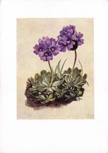 Vintage Postcard Art Tyrolean Speit, Sticky Primrose by Hans Lang, Austria #M26